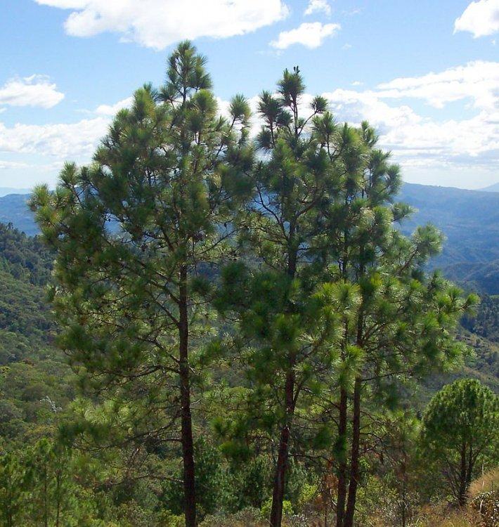 800px-Pinus_oocarpa_Perkin.thumb.jpg.0de7fb9c6c30c6dc8a613fede054a583.jpg