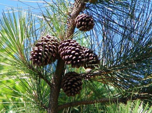Pinus_elliottii_follhas_frutos.jpeg.69e33fdcb8058cb8da538370ec17324c.jpeg
