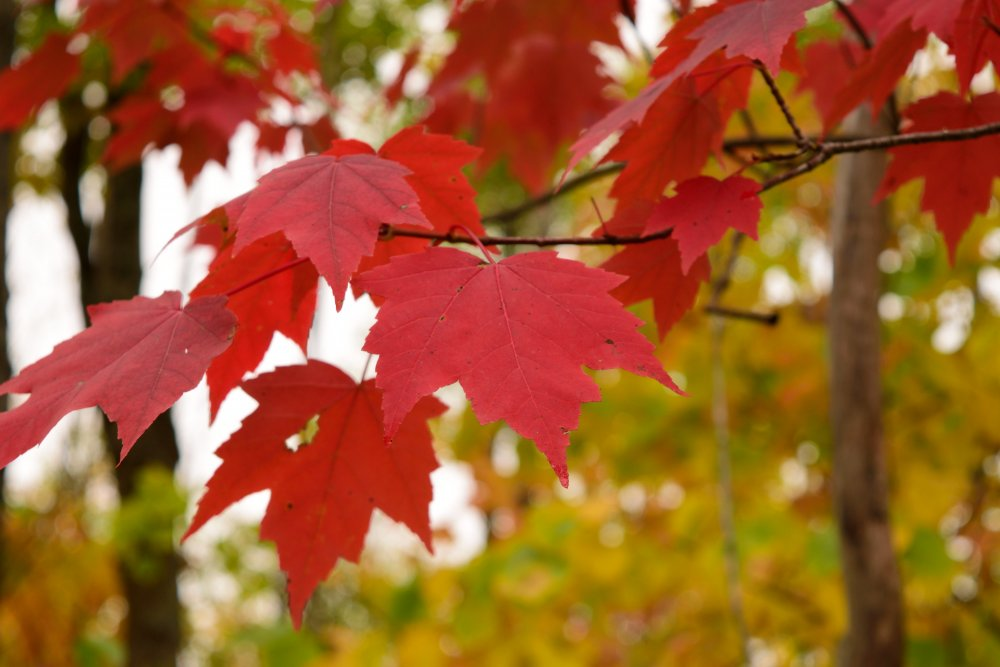 maple-red-fall-foliage-iStock-492033370.thumb.jpg.cce5e557a94061bd073ce87a6168f7b0.jpg